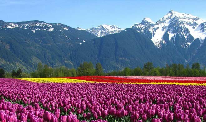 What is special this time in the Tulip Festival, in Srinagar